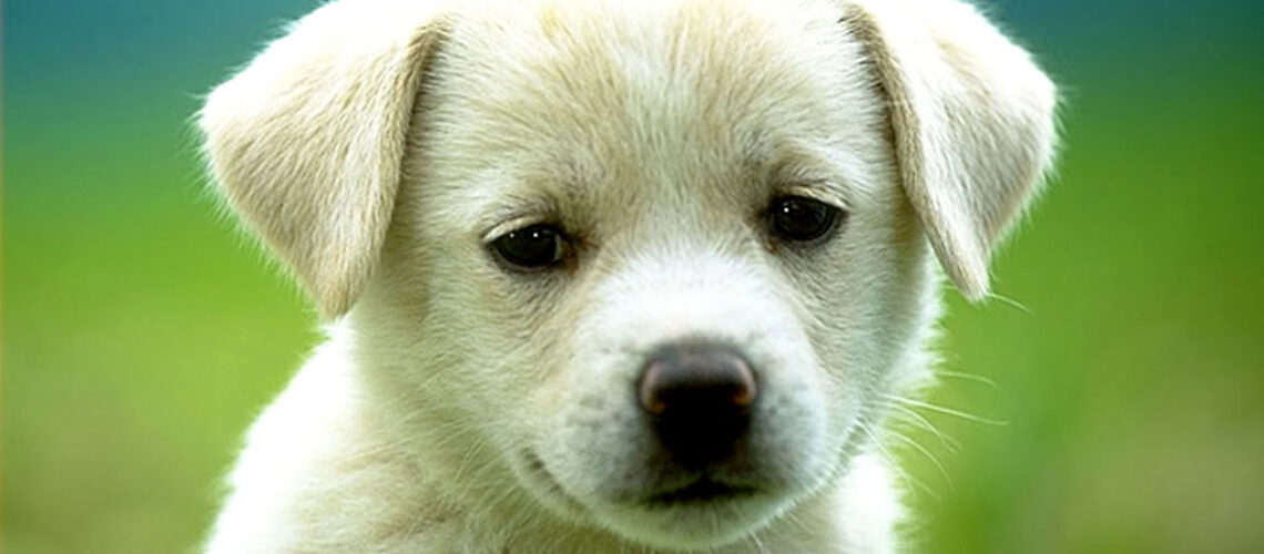 cute-puppy-dog-wallpapers